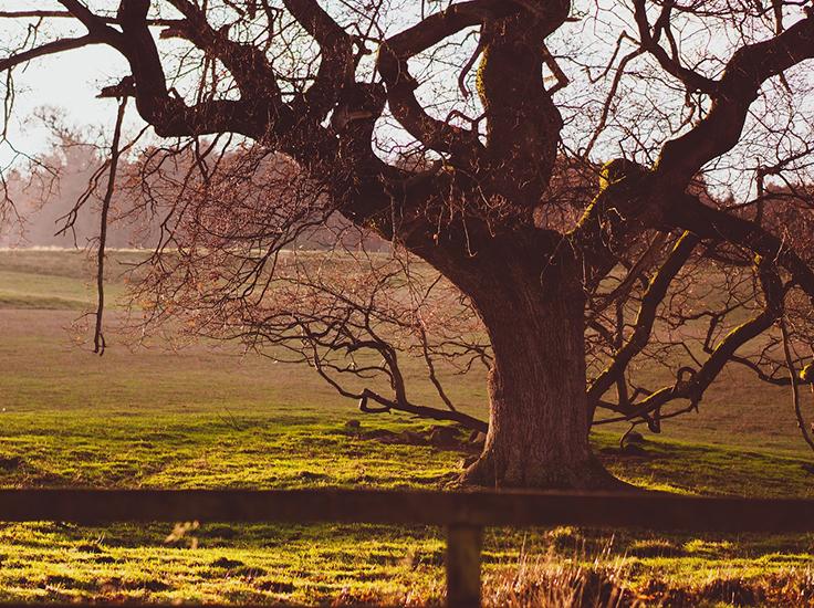 Ancient Oak Tree