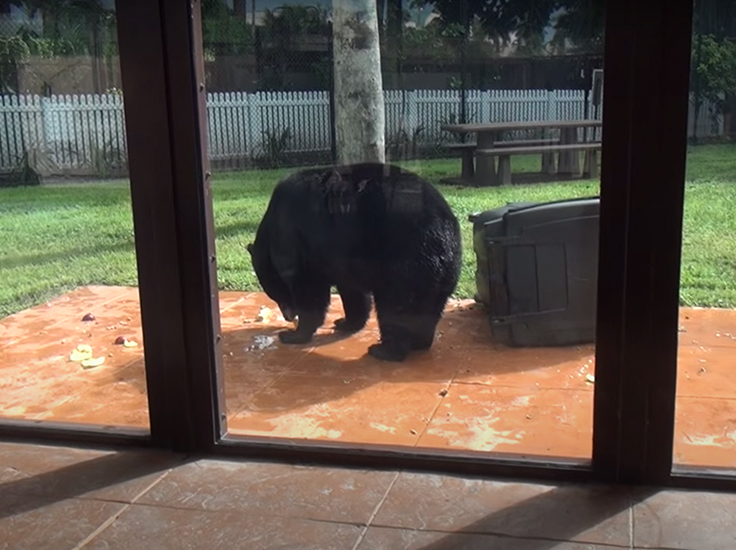 Florida black bear will eat just about anything!