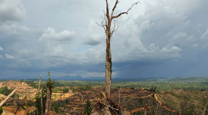 A tree stands alone in a logged area prepared for plantation near Lapok in Malaysia's Sarawak State