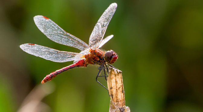 A ruddy darter dragonfly perches on a stalk in Coleshill Park, Wiltshire, UK