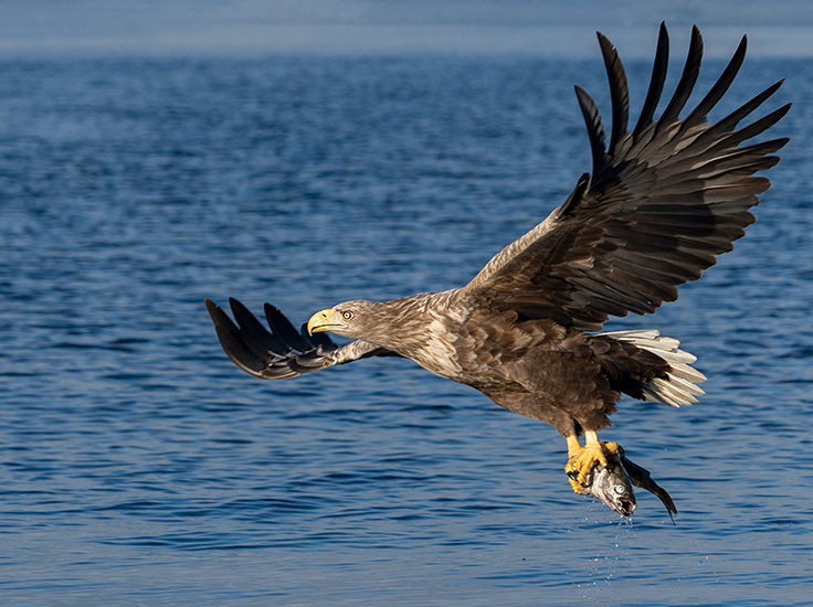 A white-tailed eagle with prey