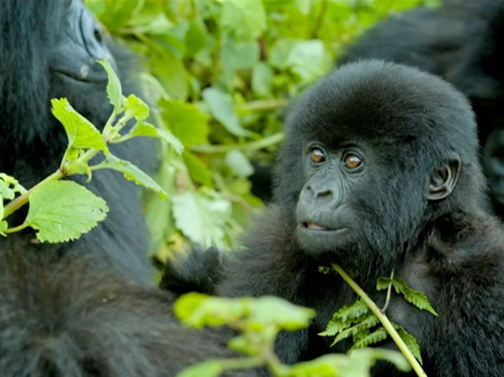 The granddaughter of one of the gorillas Sir David first met in 1970. Extinction: The Facts