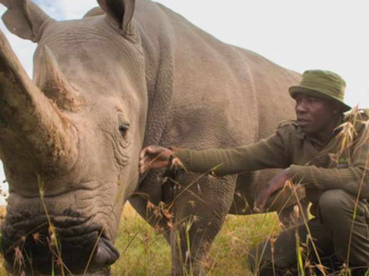 The last two Northern White Rhinos. Extinction: The Facts