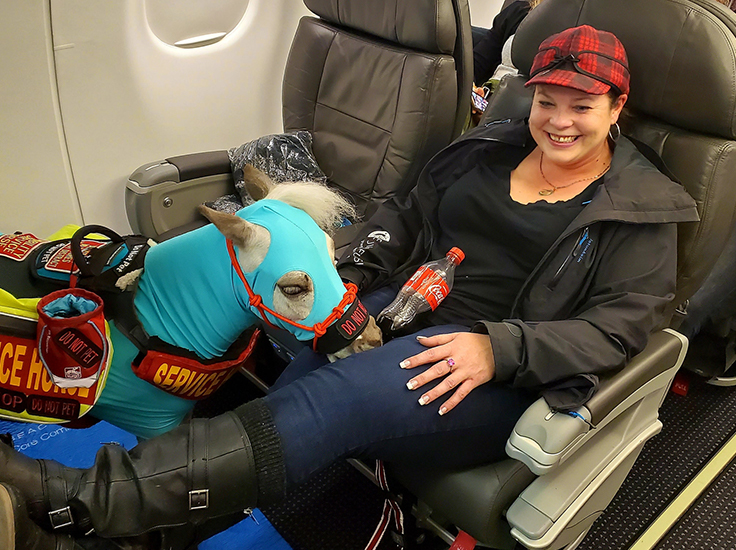 Fred, a miniature service horse, took his first flight recently