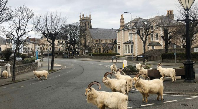 Goats in the street in Wales