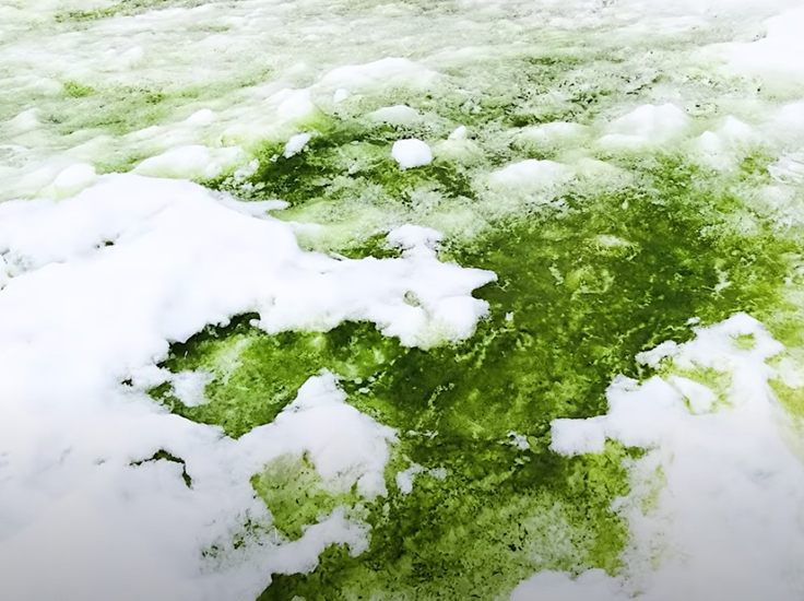 Green snow in Antarctica due to algae blooms