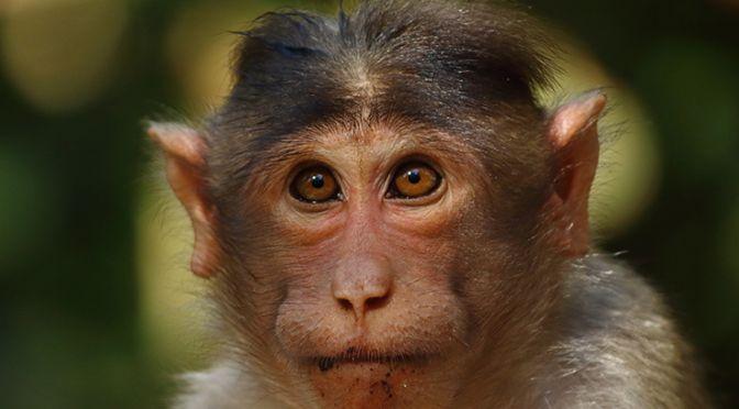 Macaque Monkey - Saketh Upadhya