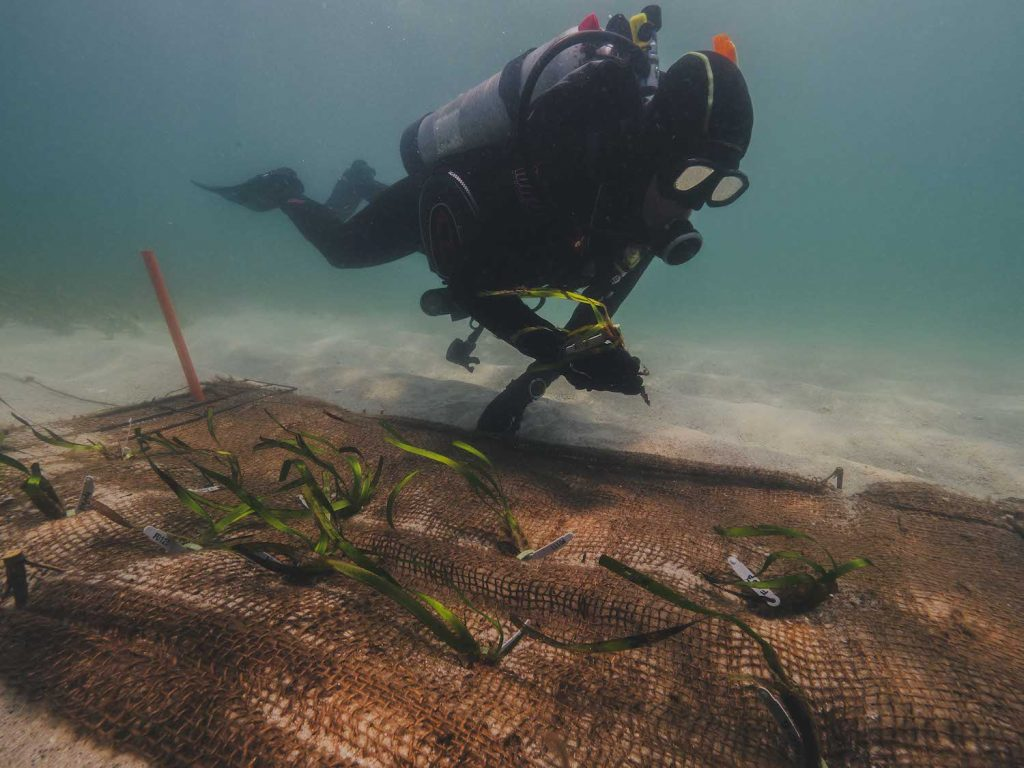 Planting Posidonia. Photo by Harriet Spark