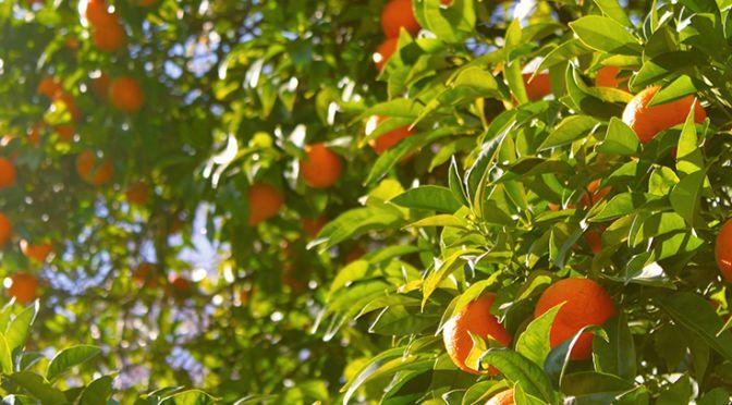 Orange tree in the sunshine
