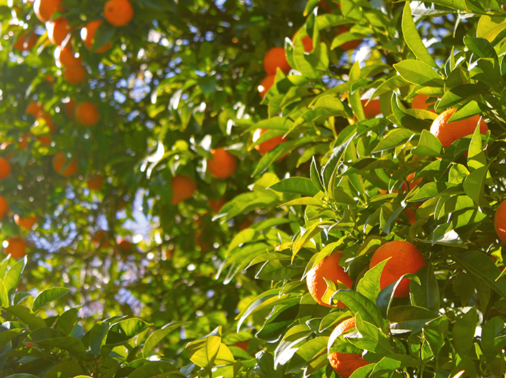 Orange tree in the sunshine