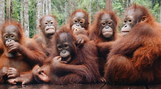 group of orangutans
