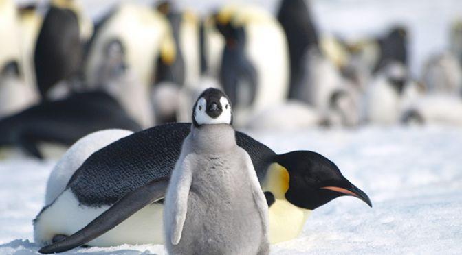 Emperor Penguins in Antarctica, Image Peter T Fretwell