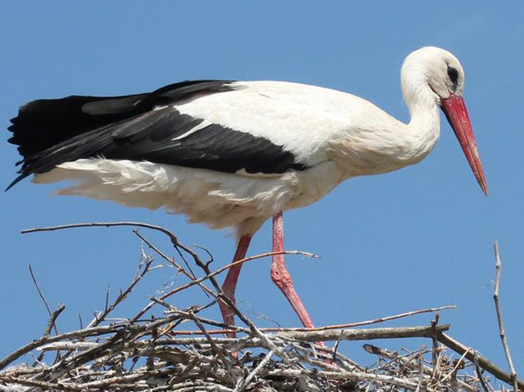 White stork in nest
