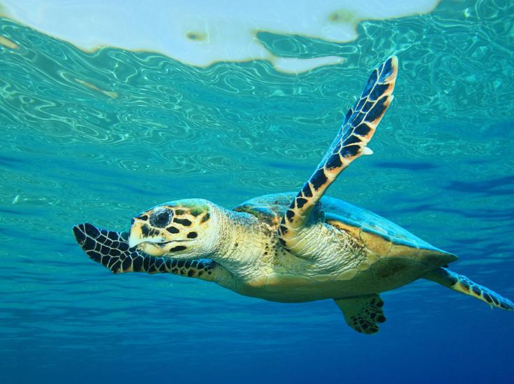 Sea Turtle, Oceana