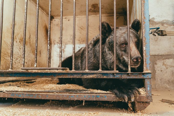 How COVID-19 Helped One Lonely Circus Bear Find Freedom