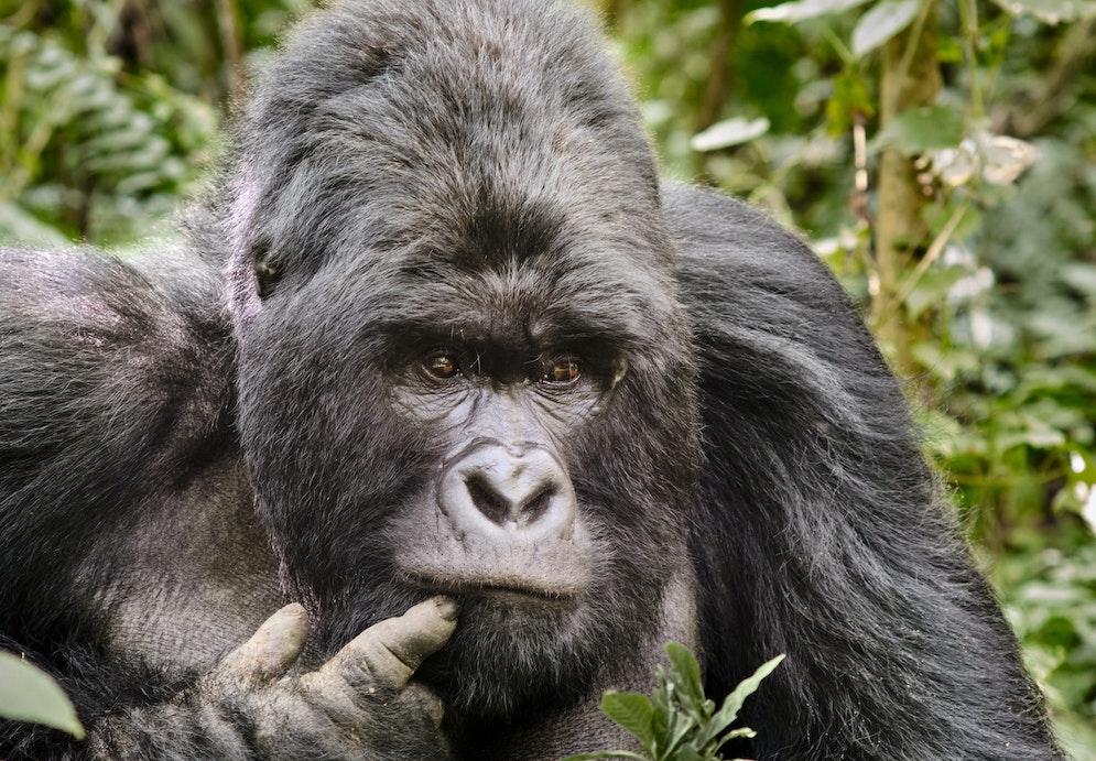 GameStop Redditors Are Now Trying to Save Rwanda's Mountain Gorillas