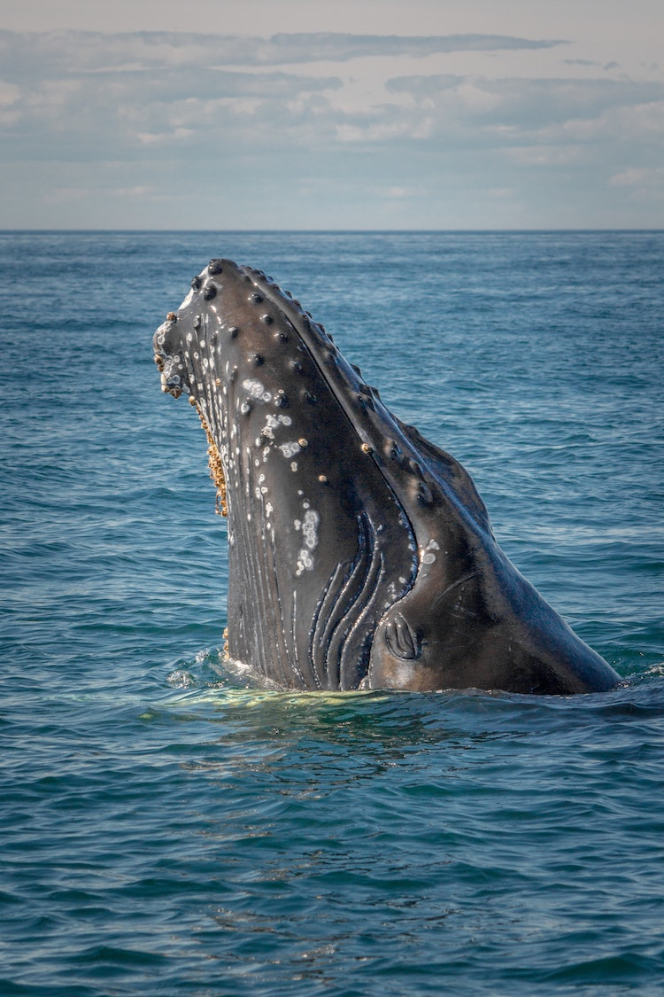 Climate Change Is No Friend to Baby Humpback Whales, Study Finds