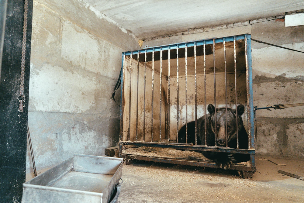How COVID-19 Helped Free 'the World's Loneliest' Circus Bear