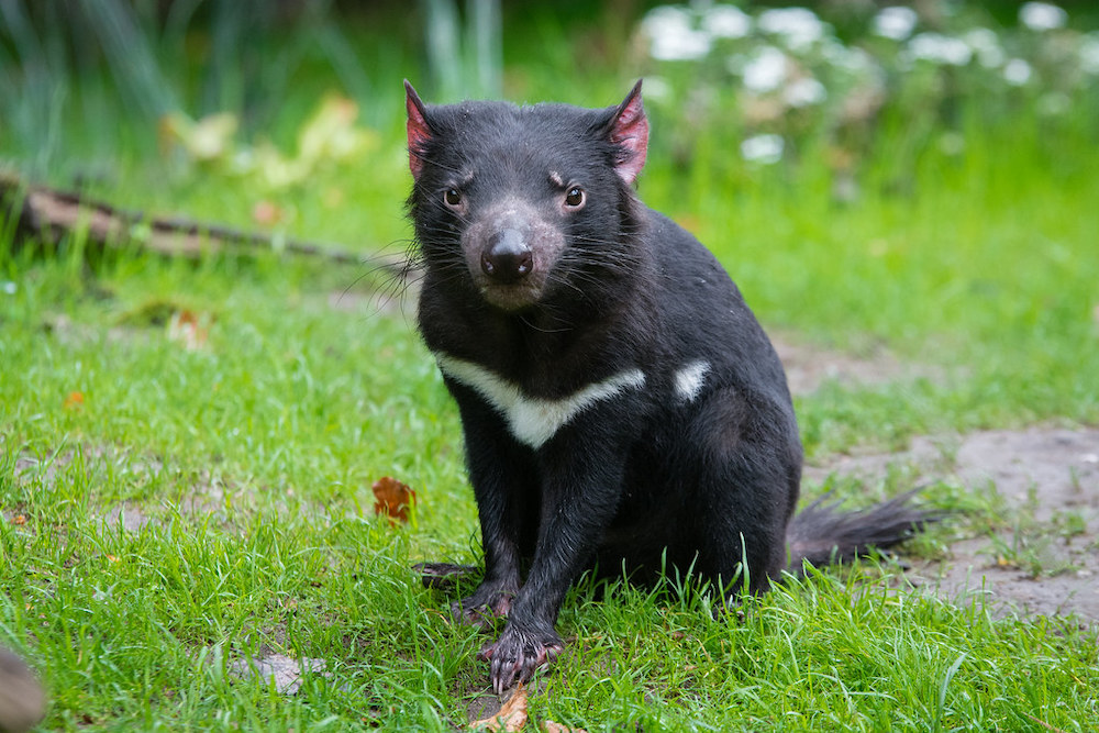 Australia to 'Rewild' By Bringing Back Tasmanian Devils